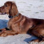 Item essencial para cães com doença celíaca: ração sem glúten